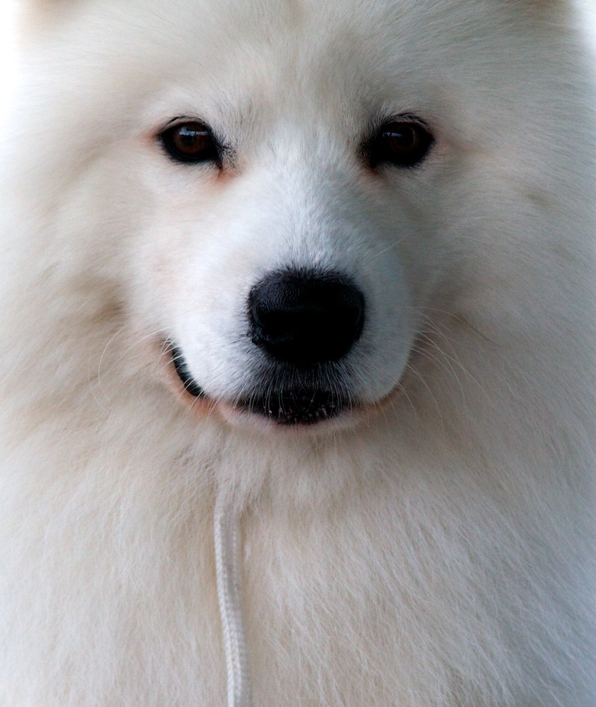 1000+ Images About P E T S : I White Dogs On Pinterest